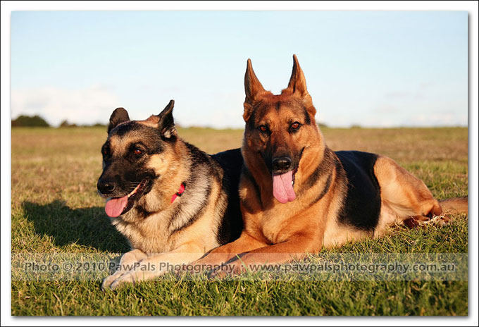 german-shepherds-echo-musty-4521