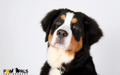 bernese-mountain-dog-9306