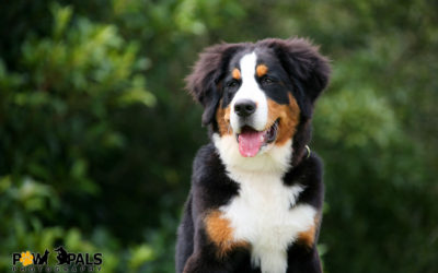 bernese-mountain-dog-9421