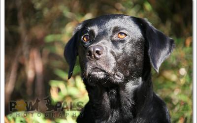 black-labrador-0597