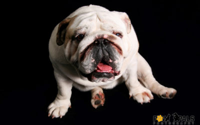british-bulldog-6704