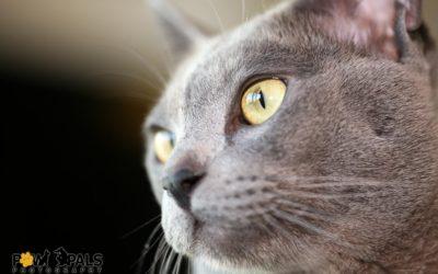 burmese-cat-3524