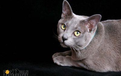 burmese-cat-3612