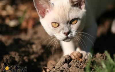 burmese-cat-8008