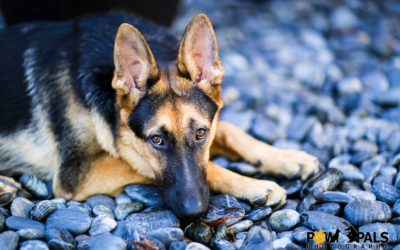 german-shepherd-M3002249