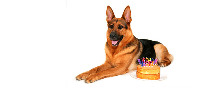 german-shepherd-happy-birthday-3023