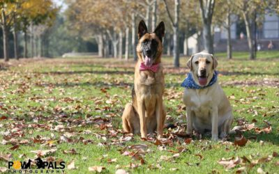 german-shepherd-labrador-M3009951