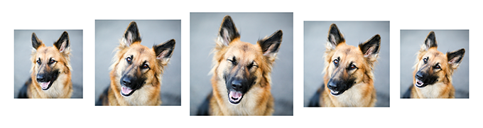 german-shepherd-smile
