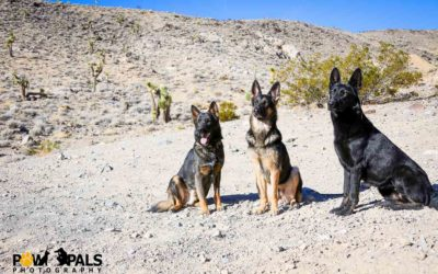 german-shepherds-M3009218
