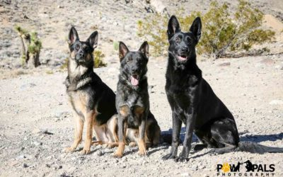 german-shepherds-M3009222