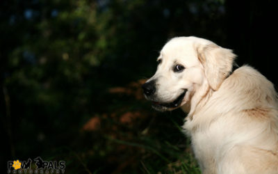 golden-retriever-5762