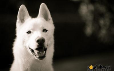 white-husky-M3002787