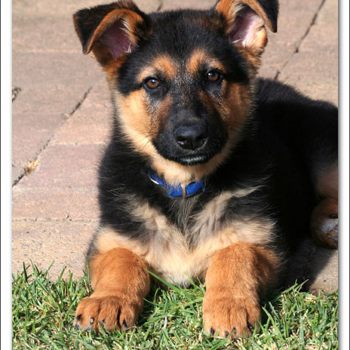 german-shepherd-echo-2478