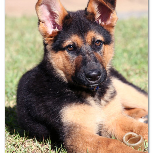 german-shepherd-echo-2632
