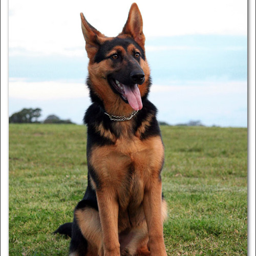 german-shepherd-echo-3479