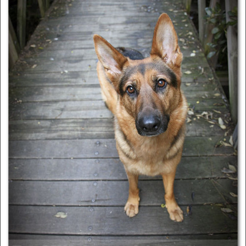 german-shepherd-echo-4499
