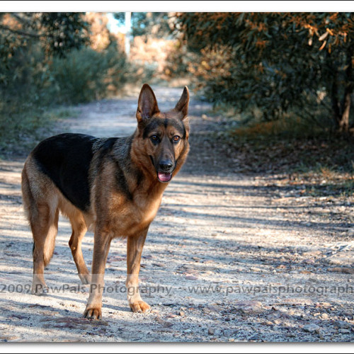 german-shepherd-echo-5271