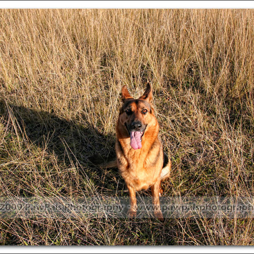 german-shepherd-echo-5291