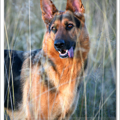 german-shepherd-echo-5427