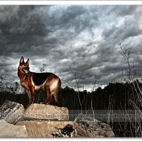 german-shepherd-echo-5615
