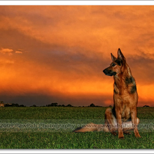 german-shepherd-echo-5753