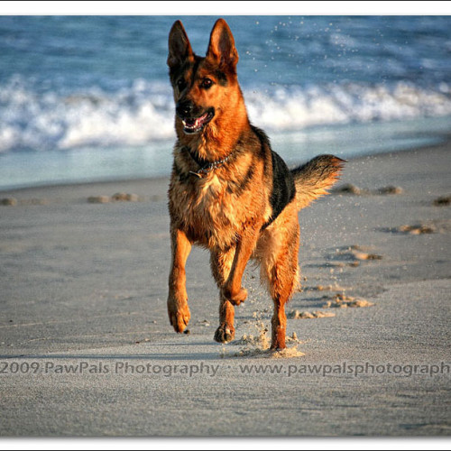 german-shepherd-echo-5857