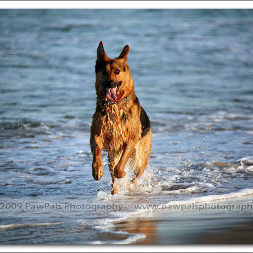 german-shepherd-echo-5878
