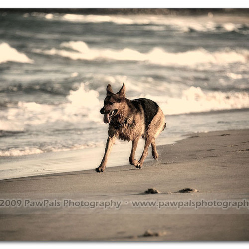 german-shepherd-echo-5883