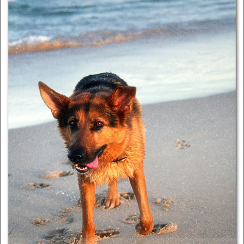 german-shepherd-echo-5909