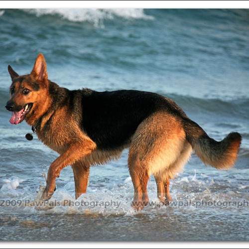 german-shepherd-echo-5915