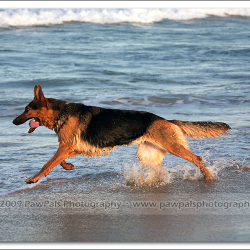 german-shepherd-echo-5935