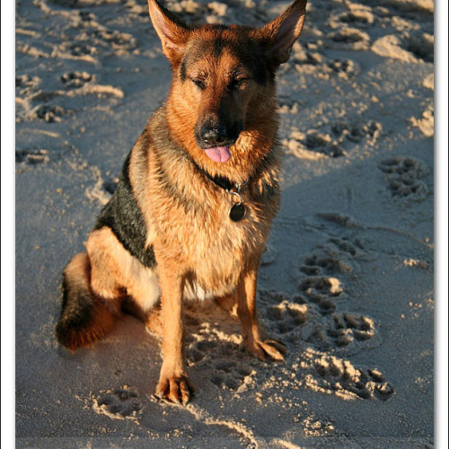 german-shepherd-echo-5975