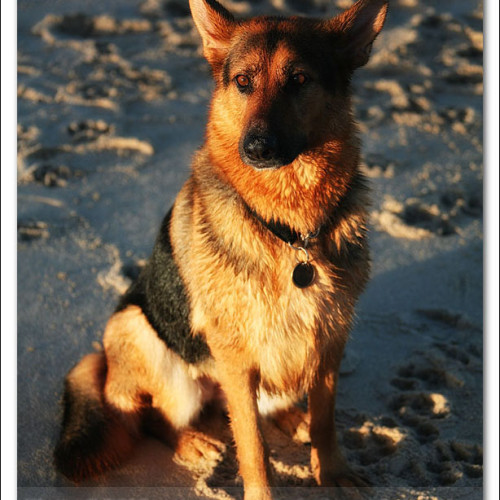 german-shepherd-echo-5982