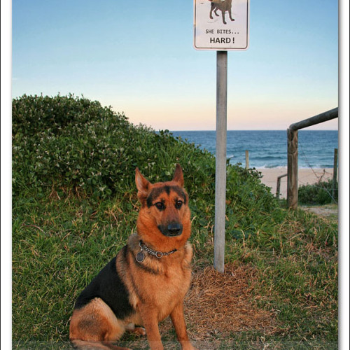 german-shepherd-echo-6042