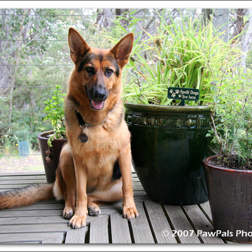 german-shepherd-echo-7632
