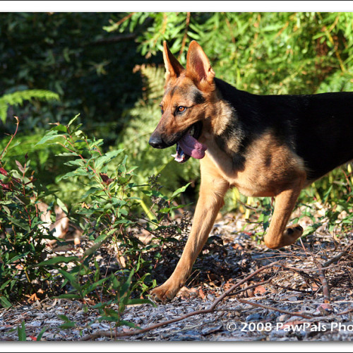 german-shepherd-echo-8529