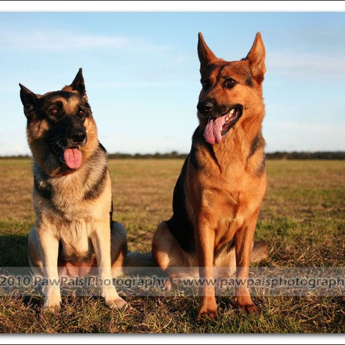 german-shepherd-echo-musty-4514