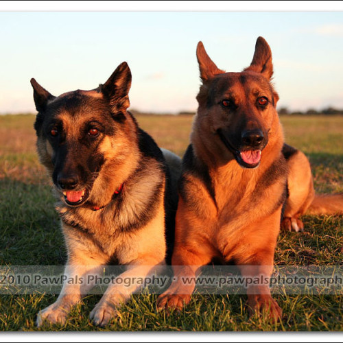 german-shepherd-echo-musty-4703