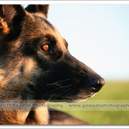 german-shepherd-musty-4566