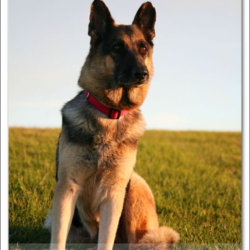 german-shepherd-musty-4571