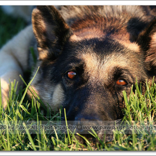 german-shepherd-musty-4583
