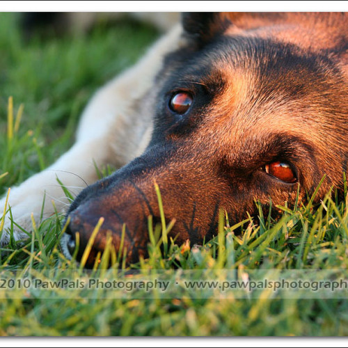 german-shepherd-musty-4776