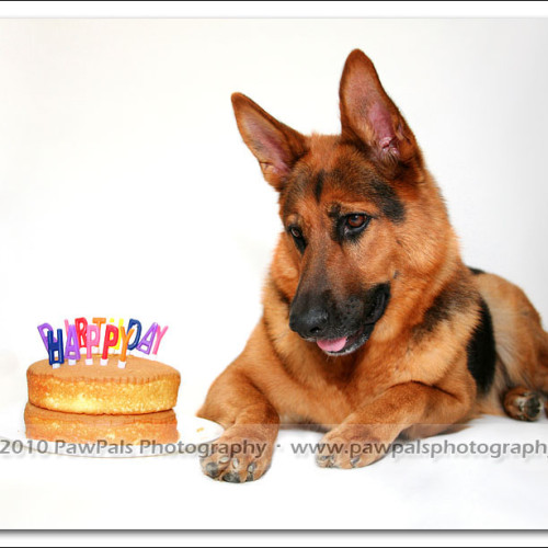 happy-birthday-german-shepherd-3061