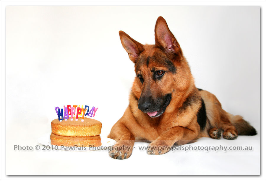 My German Shepherd is 4 years old! - Sydney Dog ...