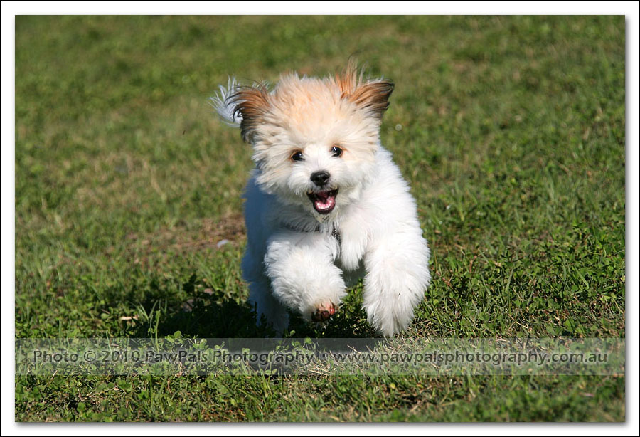 ... Photography | Loui the Maltese x Chihuahua – Sydney Dog Photographer
