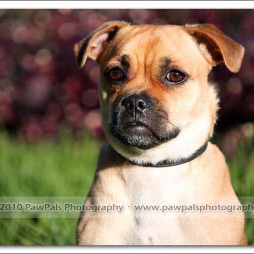 pug-neo-pet-photography-5064
