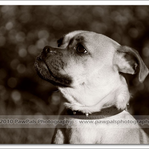 pug-neo-pet-photography-5069