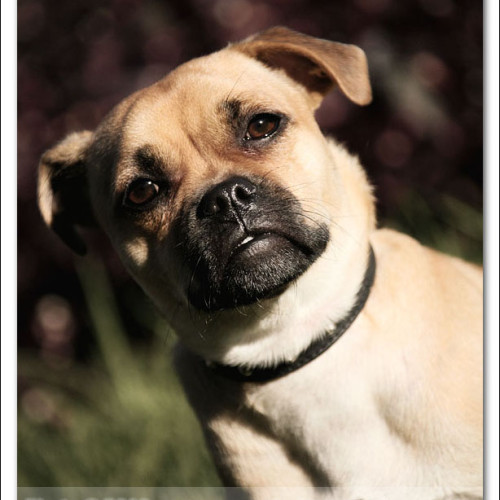 pug-neo-pet-photography-5071