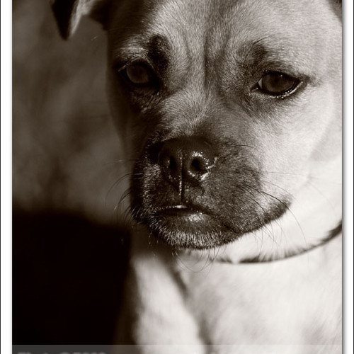 pug-neo-pet-photography-5077