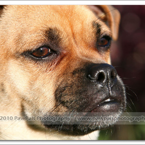 pug-neo-pet-photography-5083